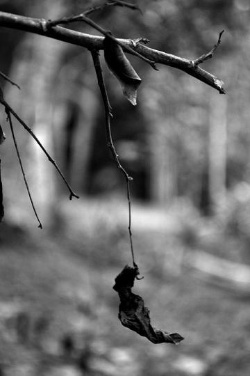 last leaf hanging on a tree, suspended, dry leaf hanging on a tree, dry leaf, background photo