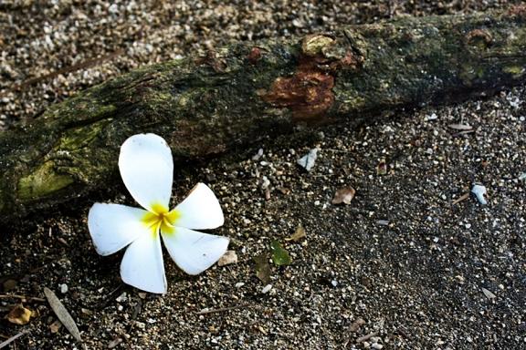 white flower, ground, petals, flowers