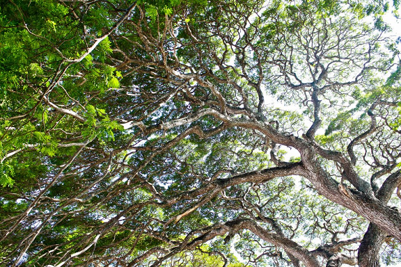 siquijor, tree, branches