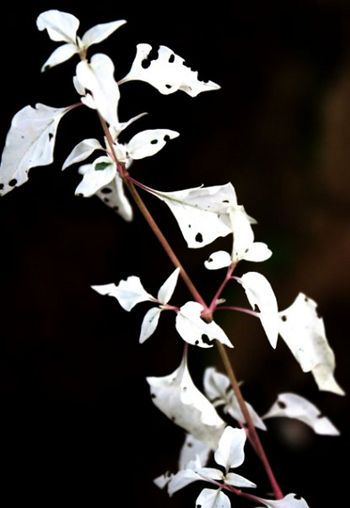 white leaves, leaves eaten by insects