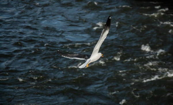 seagull, flight, bird